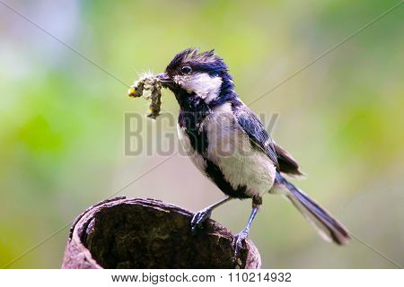 Tit mom, Parus major.