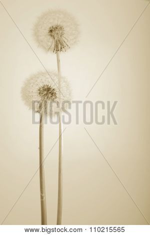 Beautiful Dandelions On White. Sepia Version