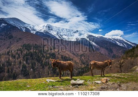 Caucasus landscape with two Donkeys