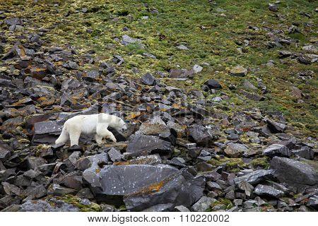 Polar bear in summer Arctic - Franz Josef Land