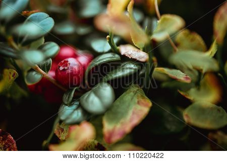 Beautiful Amazing Red Natural Berry In Sunny Mountains, In Green Grass