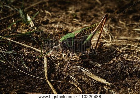 Beautiful Amazing Green And Black Grasshopper In Sunny Mountains, On The Ground