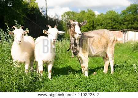 Goat And Two Kids  On The Green Grass