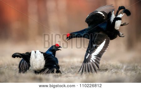 Fighting Black Grouse ( Lyrurus Tetrix) At The Lek. Early Morning. Forest