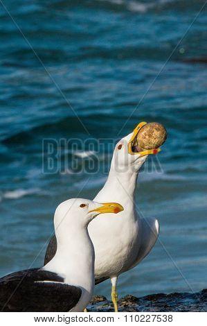 A Gull Stealing The Egg Of An Endangered African Penguin