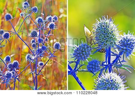 Medicinal plant flat Feverweed (Eryngium Planum)