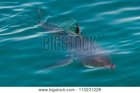 Great White Shark ( Carcharodon Carcharias) And Pink Jellyfish At The Ocean.
