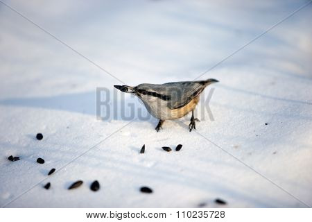 Nuthatch pecking seeds in the snow.