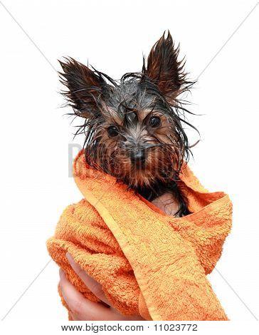 Wet Yorkshire Terrier