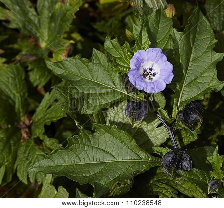 Nicandra Blue Bell Like Flower