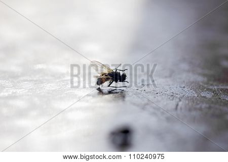 Home Insect Fly