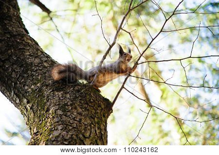 Squirrel on a branch. Wildlife.