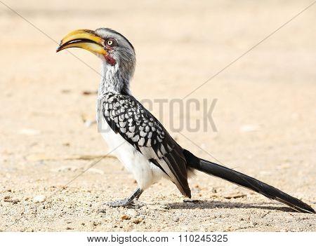 yellow-billed hornbill (Tockus flavirostris), South Africa.