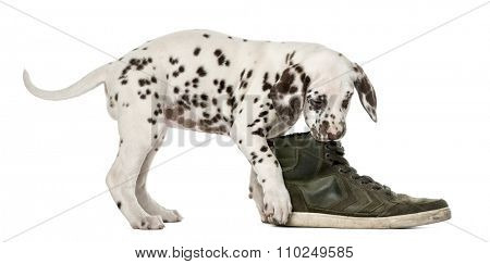 Dalmatian puppy chewing a shoe in front of a white background