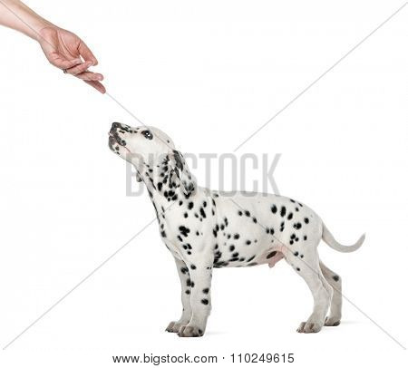 Dalmatian puppy standing and sniffing a hand in front of a white background