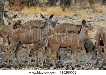 Herd Of Kudu On Way To Waterhole