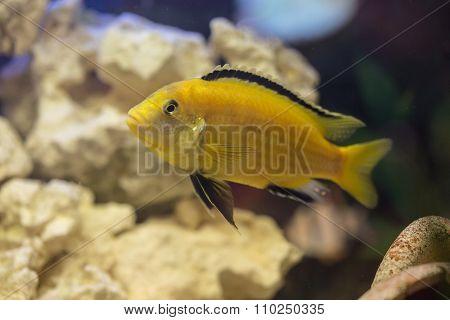 Labidochromis Yellow In Water