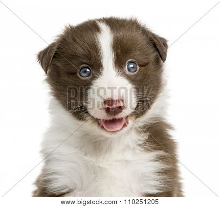 Close-up of a Border Collie puppy (6 weeks old) in front of a white background
