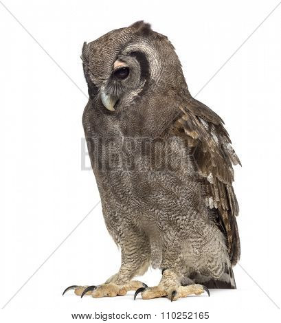 Verreaux's eagle-owl - Bubo lacteus (3 years old) in front of a white background