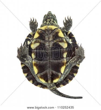 Bottom view of an European pond turtle (1 year old), Emys orbicularis, in front of a white background