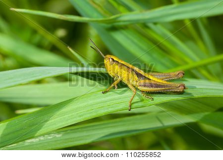 Lonely little grasshopper in a green jungle