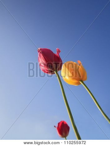 Beautiful Colourful Tulips Against Blue Sky