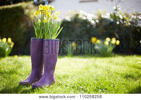 Daffodils Growing Out Of Purple Wellington Boots