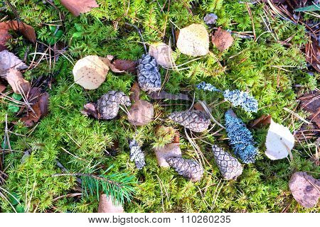 Pinecones And Needles On A Green Moss In Autumn Forest