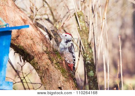 Woodpecker On The Tree Trunk (dendrocopos Major)