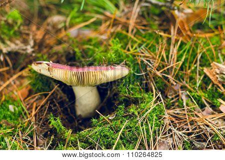 Edible Wild Russula Mushroom On Green Moss