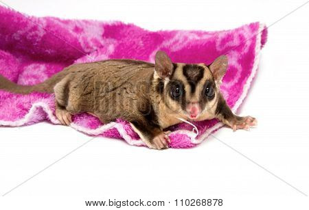 Pretty Sugar-glider (male) Standing