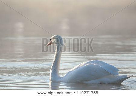 Swan at dawn.
