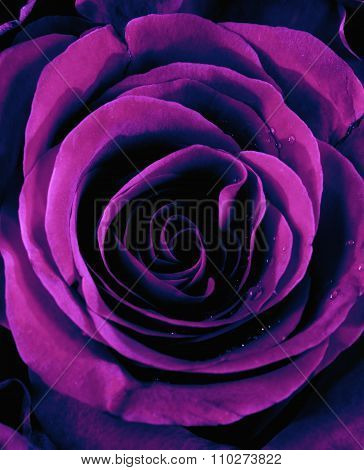Closeup Of A Purple Rose