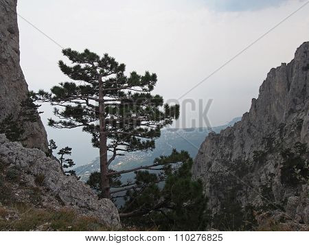 Pine-tree on a precipice in Crimean mountains