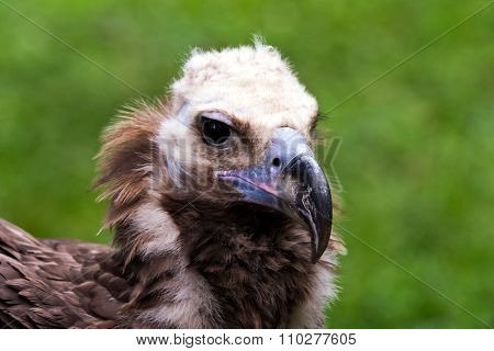Head Of Vulture