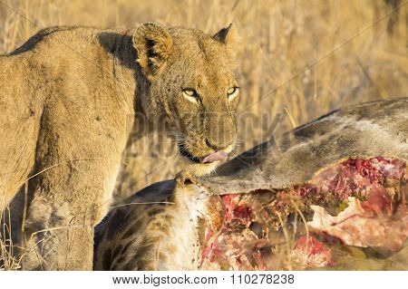 Lioness With Freshly Killed Giraffe For Breakfast
