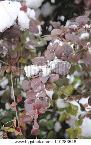 Barberry covered with snow