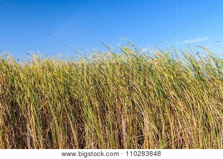 Green Reed At Mid-day, On The Backgroud Of Clear Sky. Horizontal View Of Grown Reed In A Windy Day,