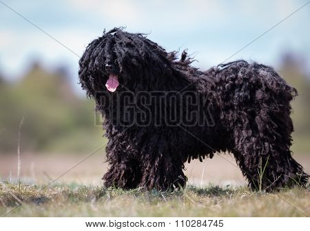 Puli Dog Outdoors In Nature