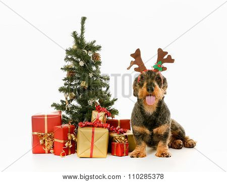 Wirehaired Dachshund In Christmas Settings