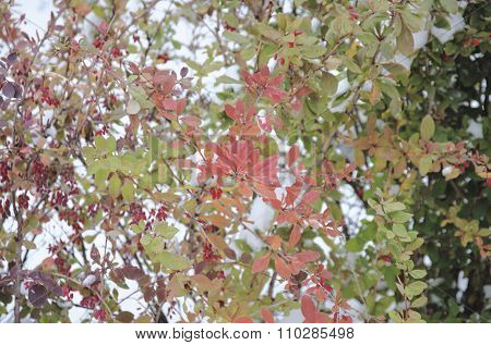 Barberry at late fall