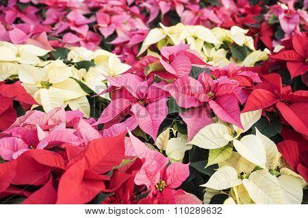 Colorful Christmas Poinsettias