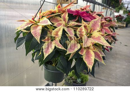 Peachy Colored Christmas Poinsettias in Pots on Display