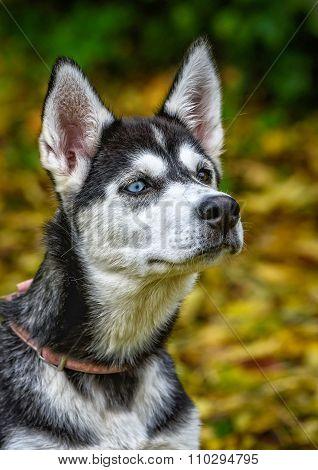 Young Husky Dog Head