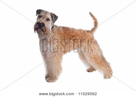 Soft Coated Terrier Dog