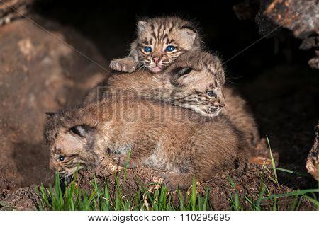 Bobcat Kitten (lynx Rufus) Pile