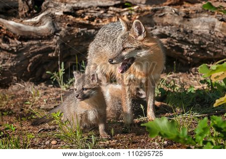 Kit Stands With Grey Fox Vixen (urocyon Cinereoargenteus)