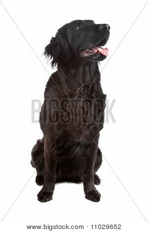 Mix Flatcoated Retriever/golden Retriever Dog