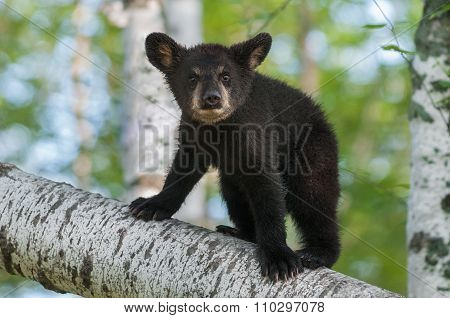 Black Bear Cub (ursus Americanus) Looks Out From Branch