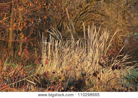 sear grass